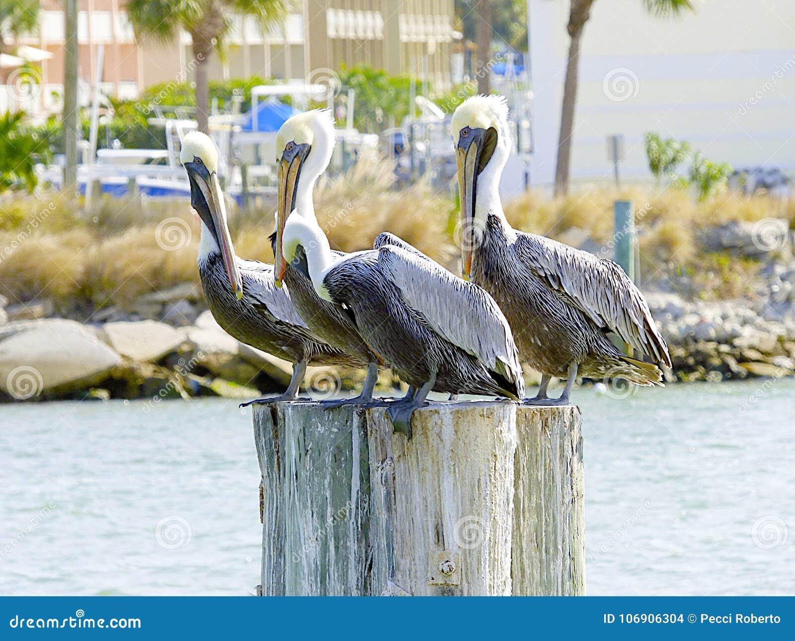 Floryda, madery plaża, trzy pelikana umieszcza na bagażniku drzewo