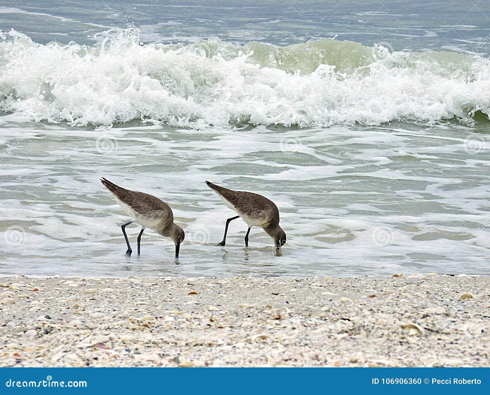 Floryda, madery plaża, dwa bekasa aport karmowego na seashore