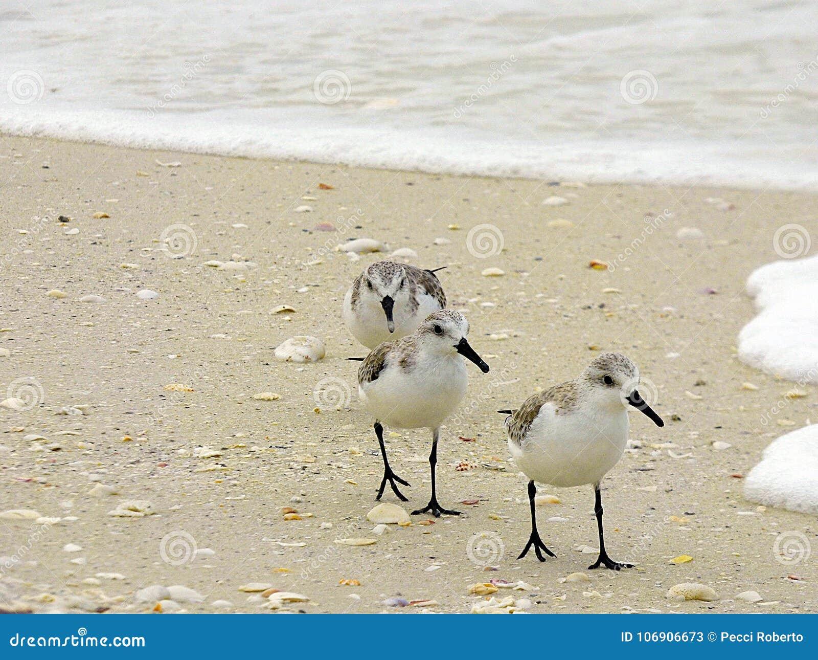 Floryda, madery plaża, trzy bekasa aport karmowego na seashore