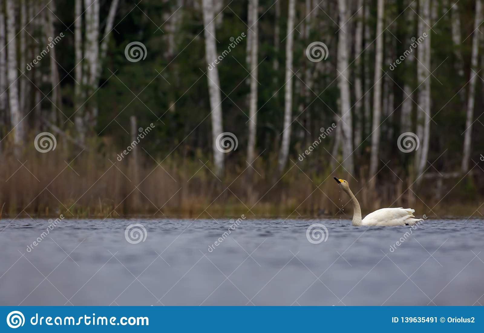 Flotador del cisne de Whooper y agua de las bebidas con gotas descendentes del pico en el lago grande en la visión escénica