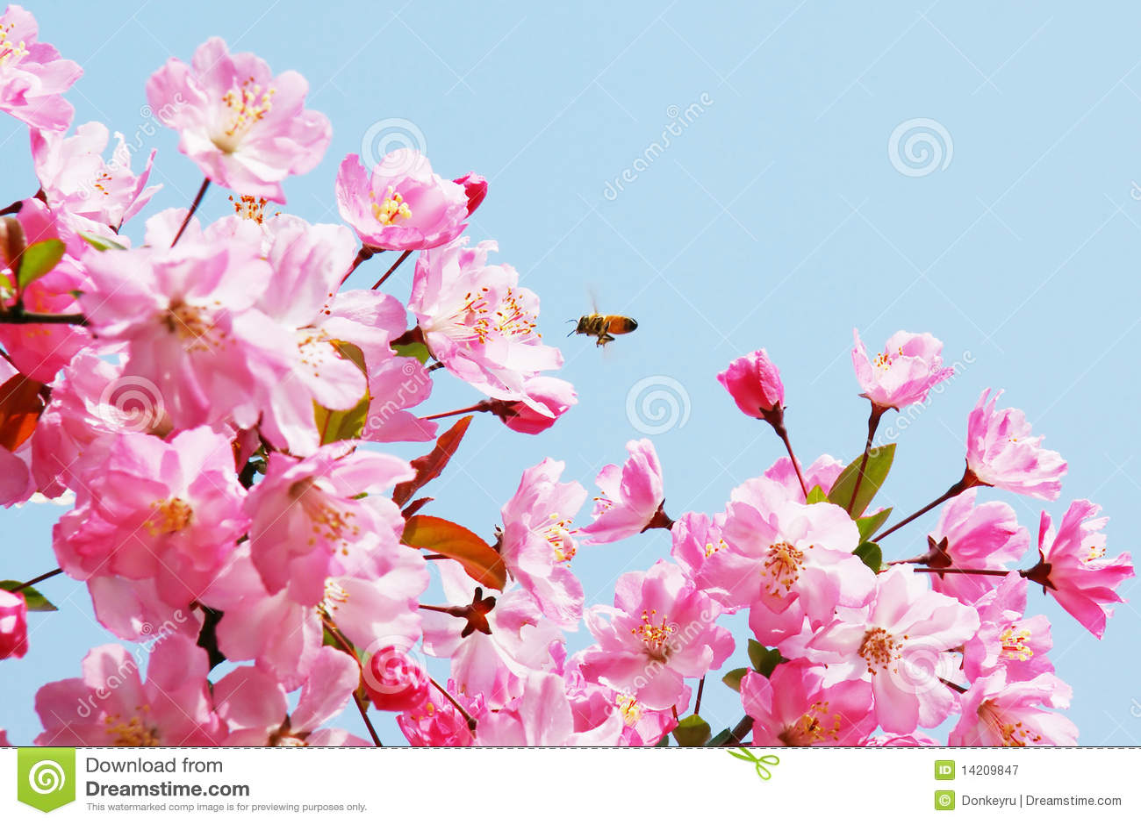 Flourish pink chinese flowering crab apple flowers stock image flourish pink chinese flowering crab apple flowers mightylinksfo