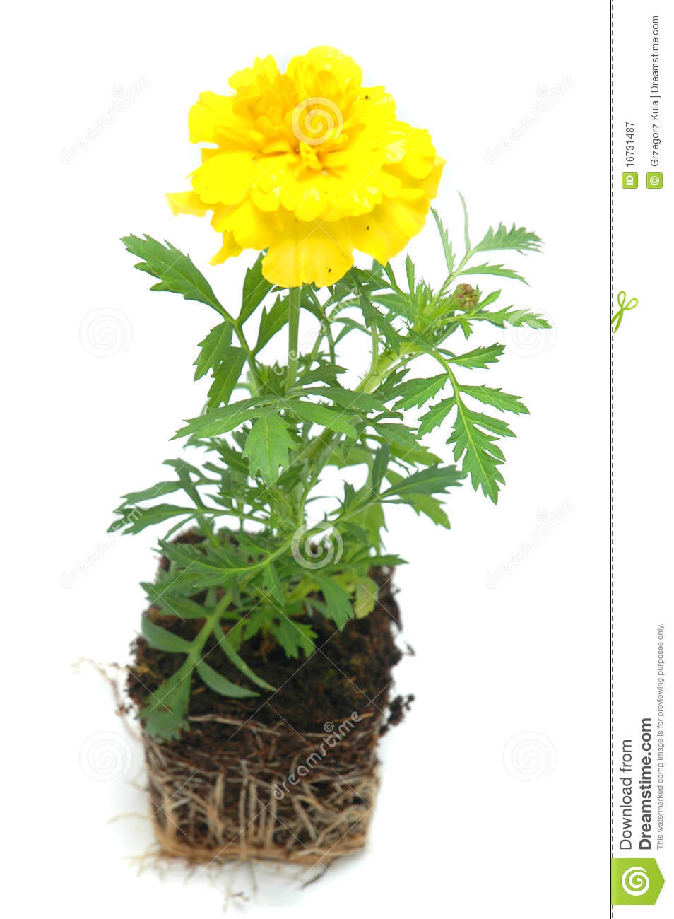 Flower stock image. Image of yellow, green, marigold ... Marigold Plant With Roots