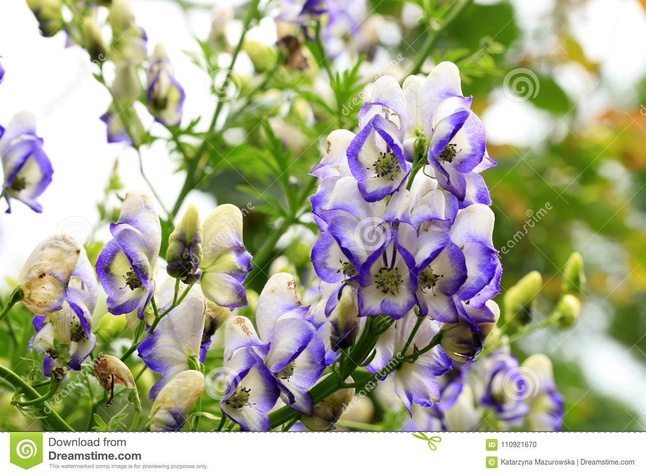 A Flower Of The Aconite In Macrophotography Stock Photo Image Of