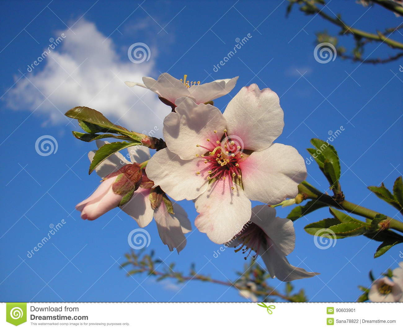 A Flower Of An Almond Tree Spring Flowers Stock Image Image Of