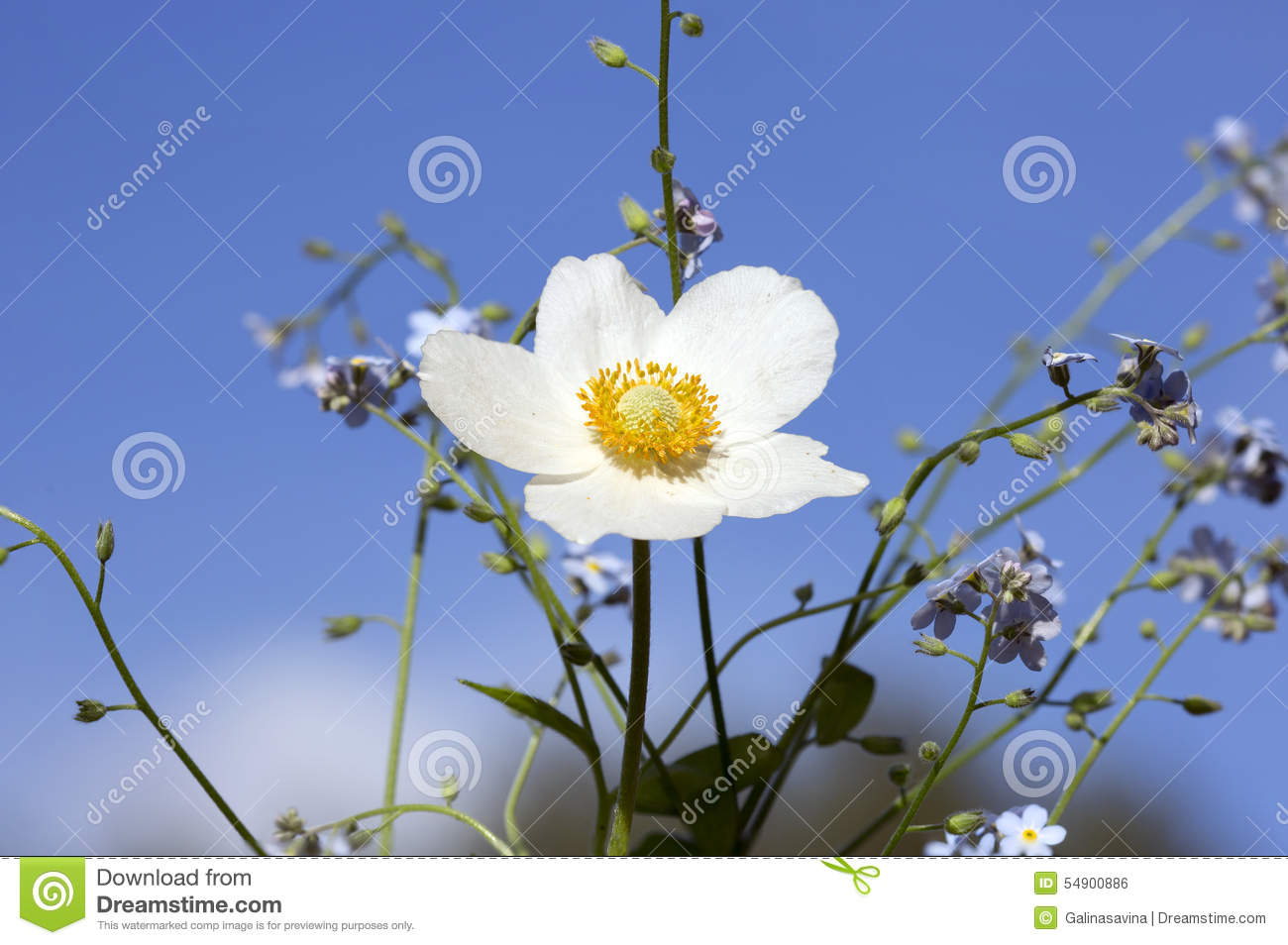 Flower Anemone Stock Photo Image Of White Spring Plant 54900886