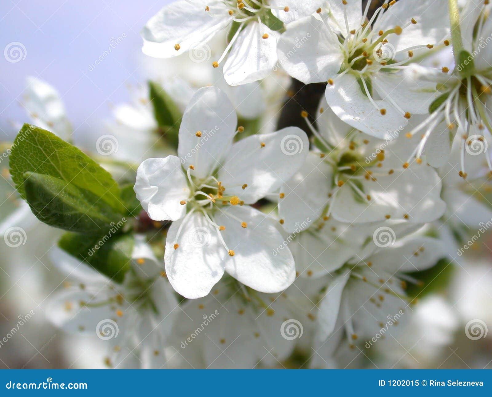 Flower of the aple trees
