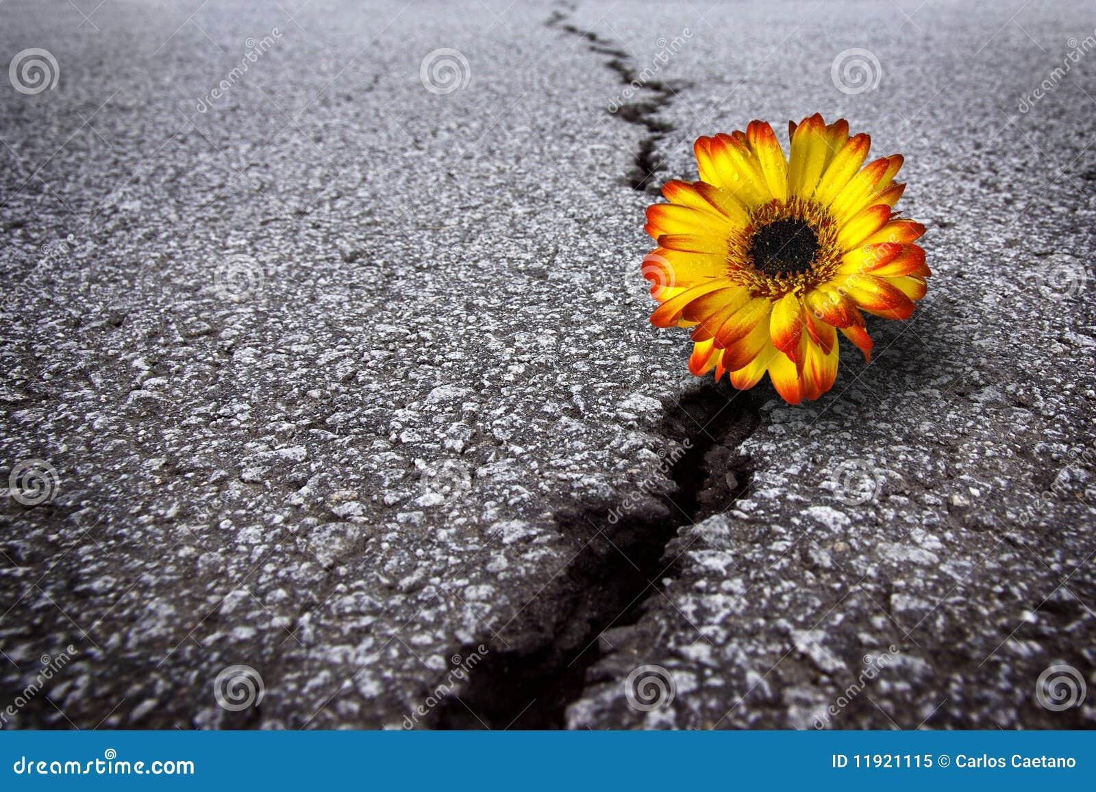 Flower in asphalt