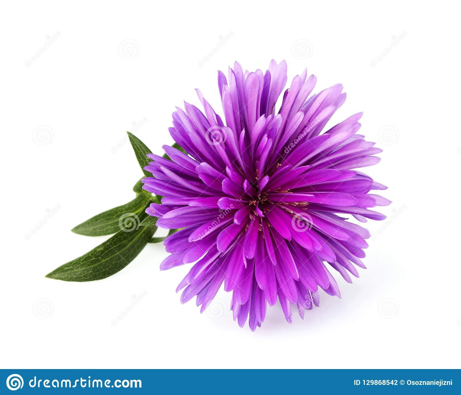 Violet-white Aster Isolated Stock Image - Image of blossom
