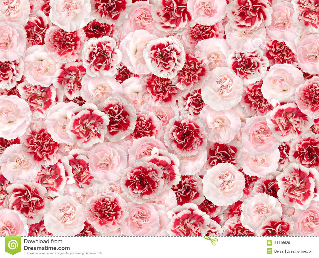 Flower Background From A Pink And Red Carnation Stock Image Image