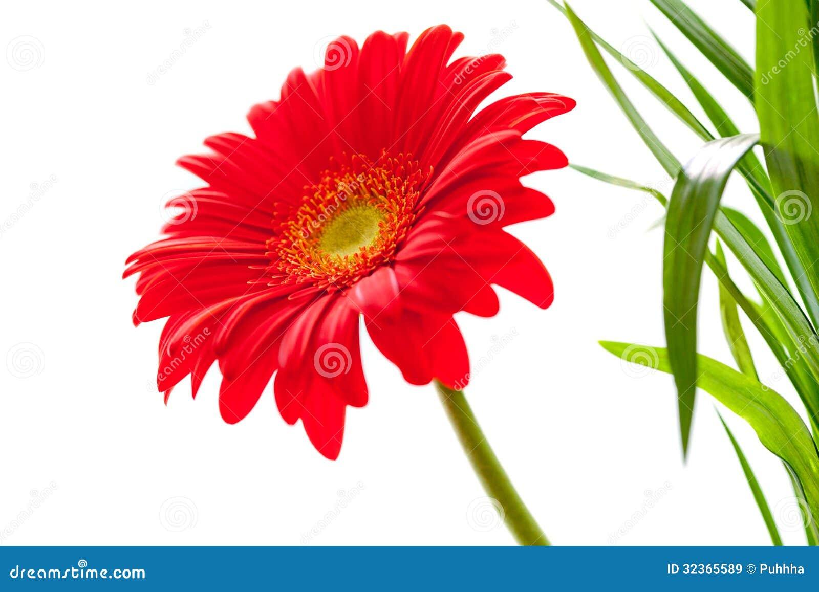 Flower Background. Red Gerbera Flower . Flower Design ...