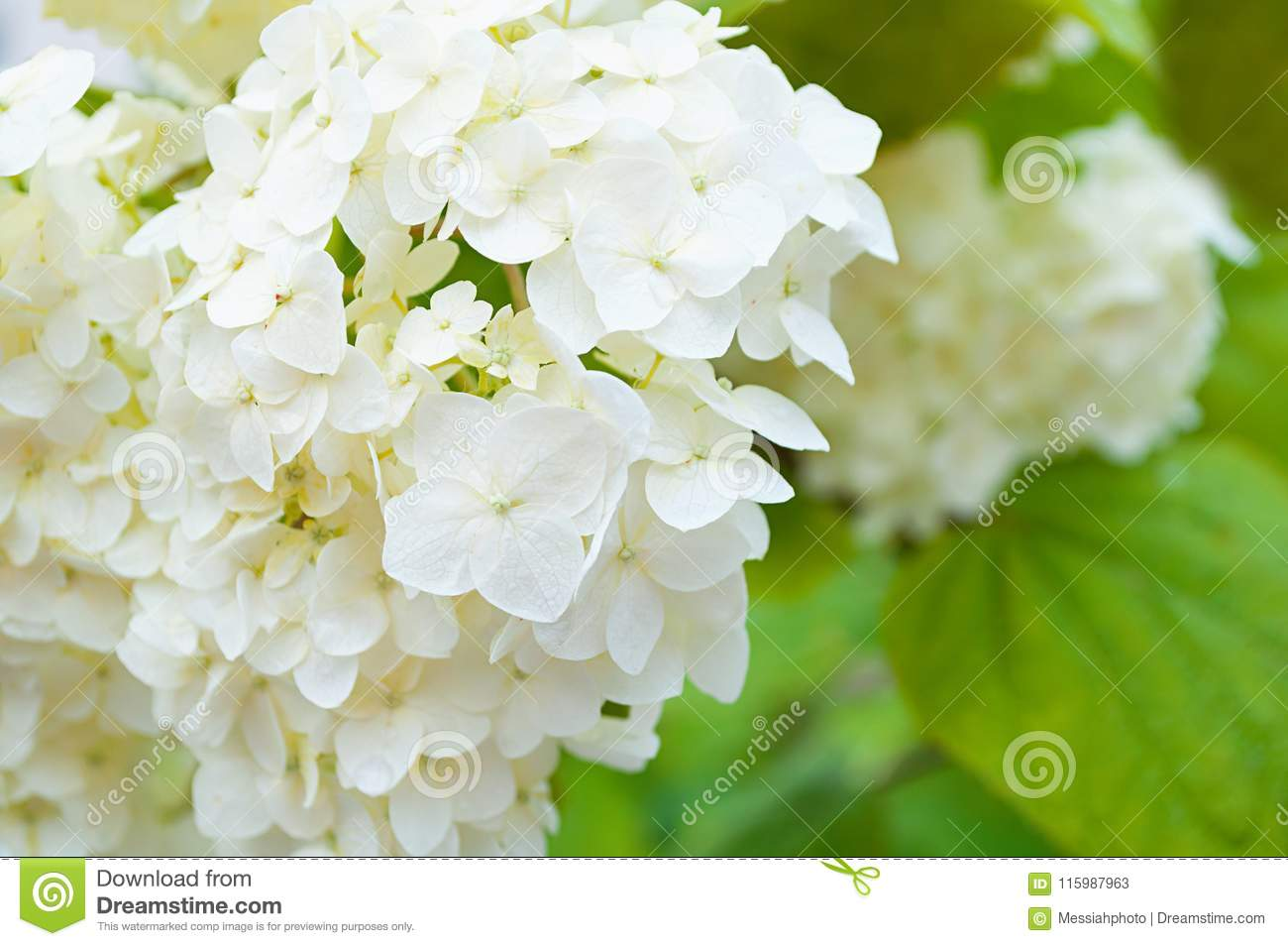 Flower Background With White Hydrangea Flower Stock Image Image Of