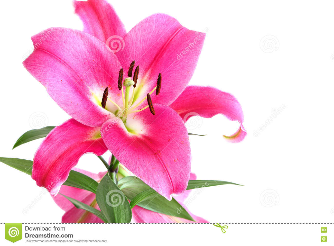 Flower Of A Beautiful Pink Royal Lily Stock Image Image Of Garden