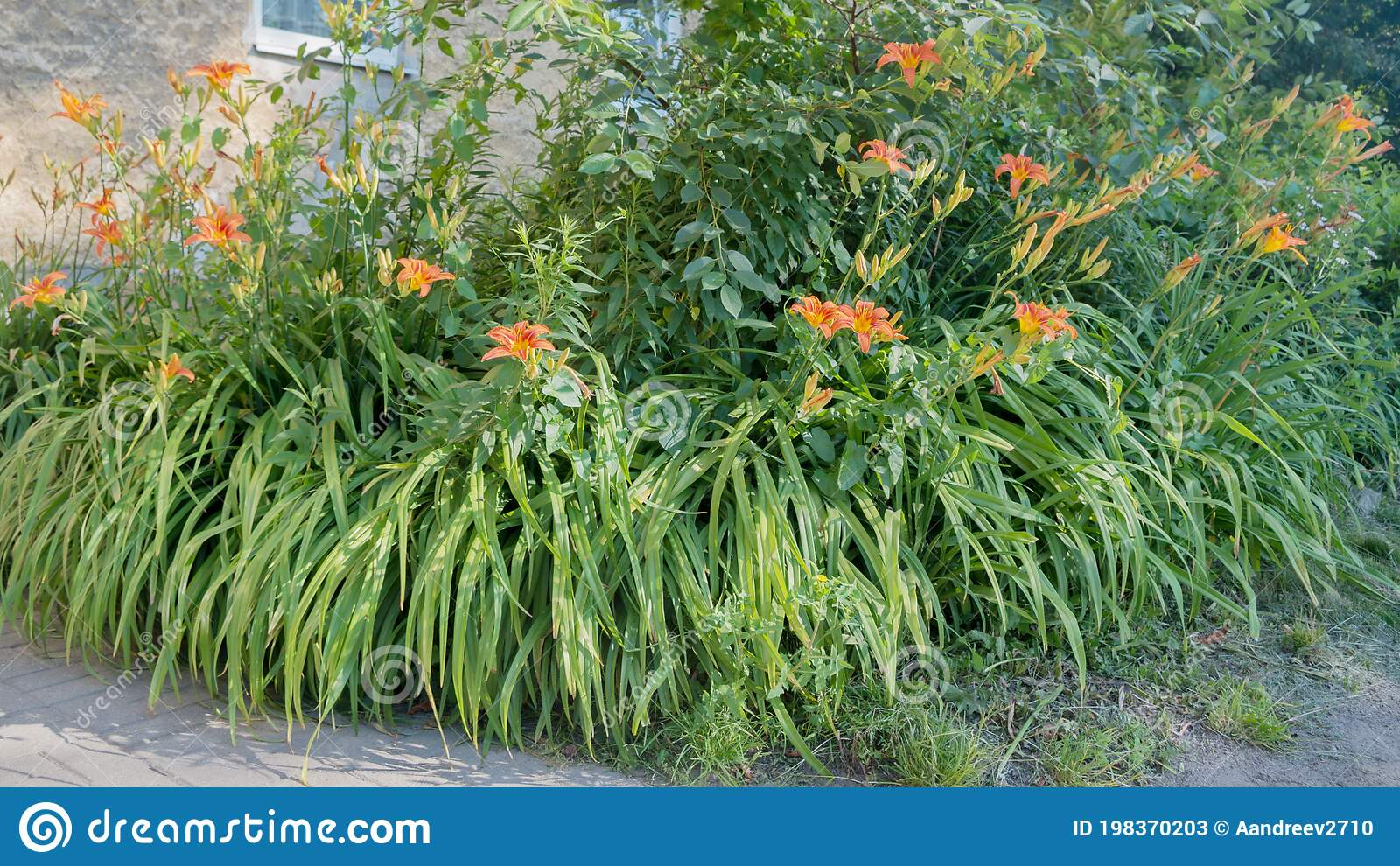 Flower Bed With Blooming Orange Lilium Bulbiferum Lilies Among Grass With Long Leaves Under Windows Of Beige Facade Of Building Stock Image Image Of Corner Front 198370203