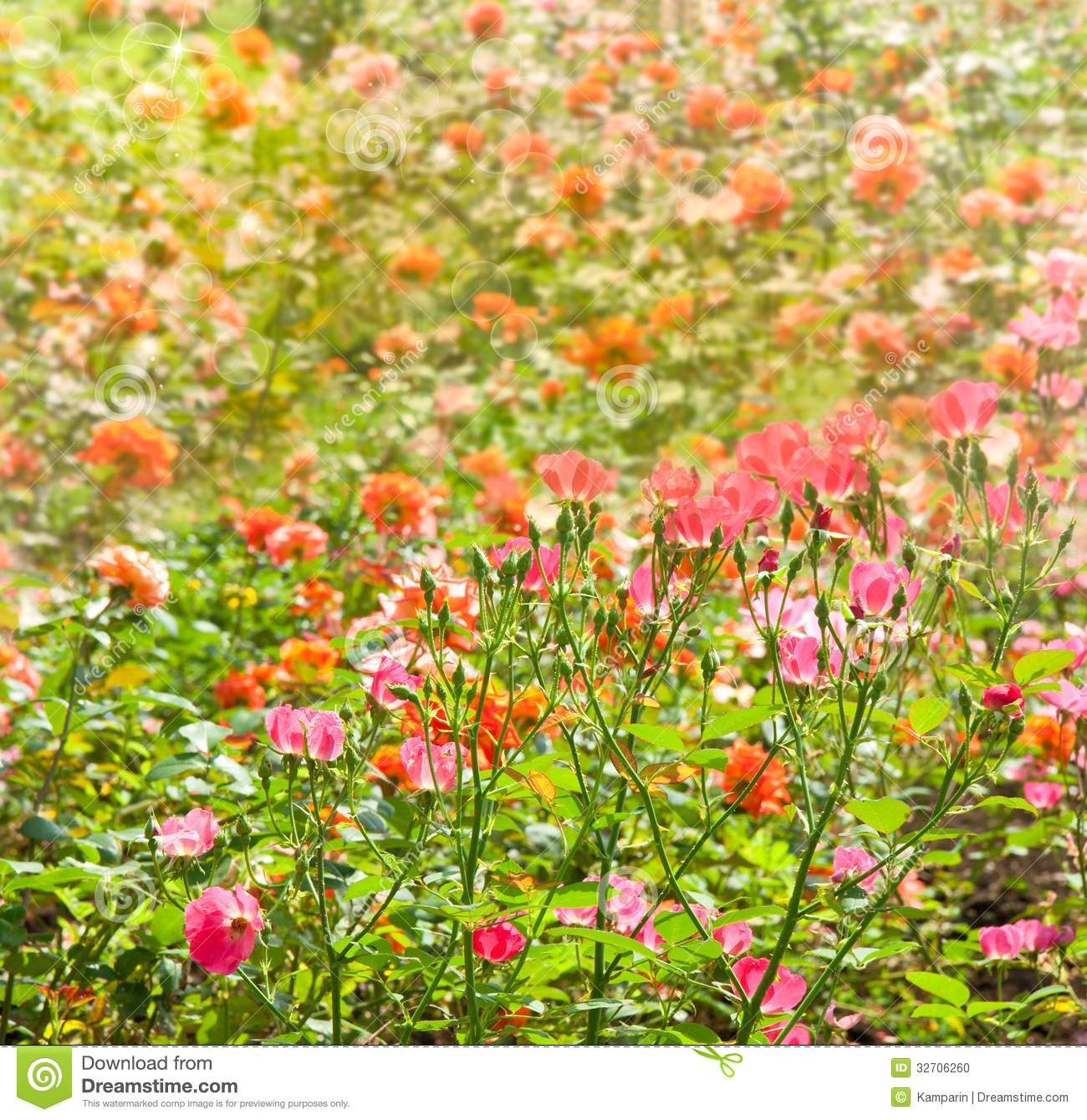 Flower Bed Of Color Roses Stock Photo
