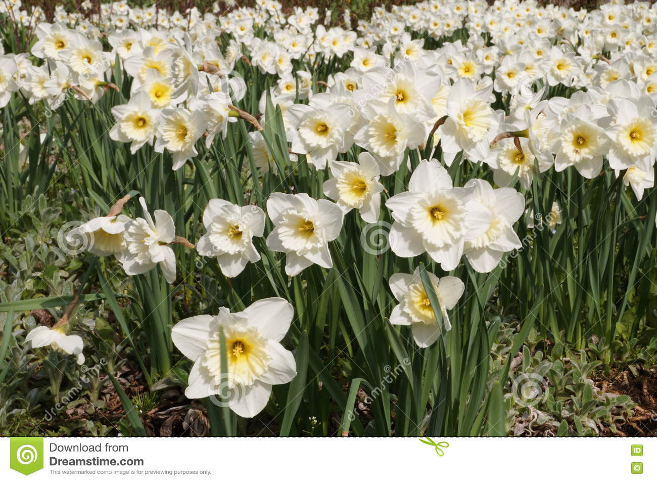 Flower bed of daffodils with large white flowers stock image image download flower bed of daffodils with large white flowers stock image image of large mightylinksfo