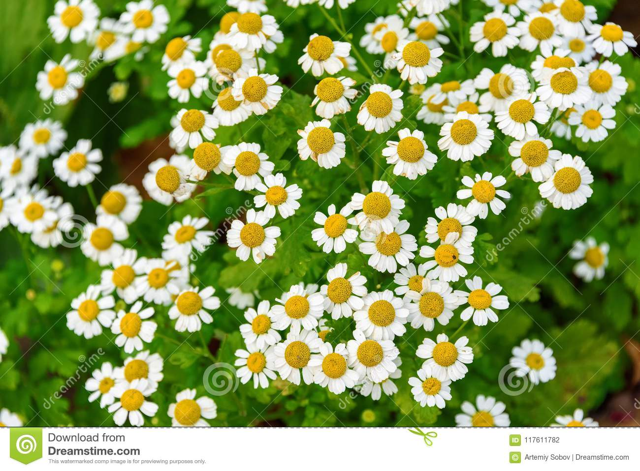 A flower bed with daisies background of white flowers close up download a flower bed with daisies background of white flowers close up stock mightylinksfo