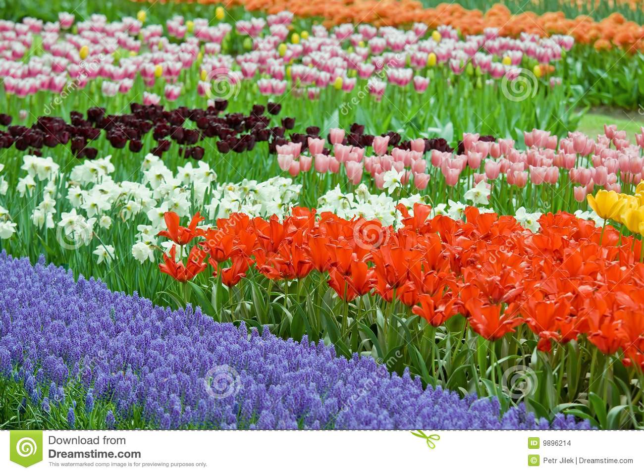 Flower Bed Full Of Color Beauty Tulips Stock Photo Image Of
