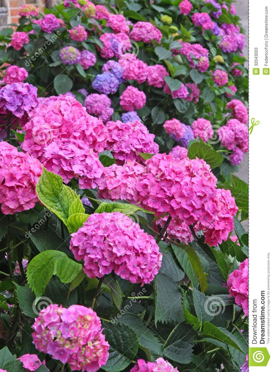 Flower Bed Full Of Purple Hydrangea Flowers And Pink And Blue Stock