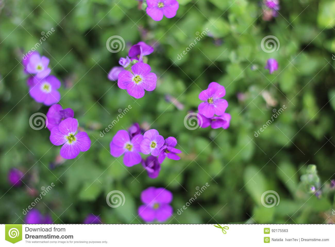 Flower Bed Of Little Purple Flowersfrom Above Stock Image Image