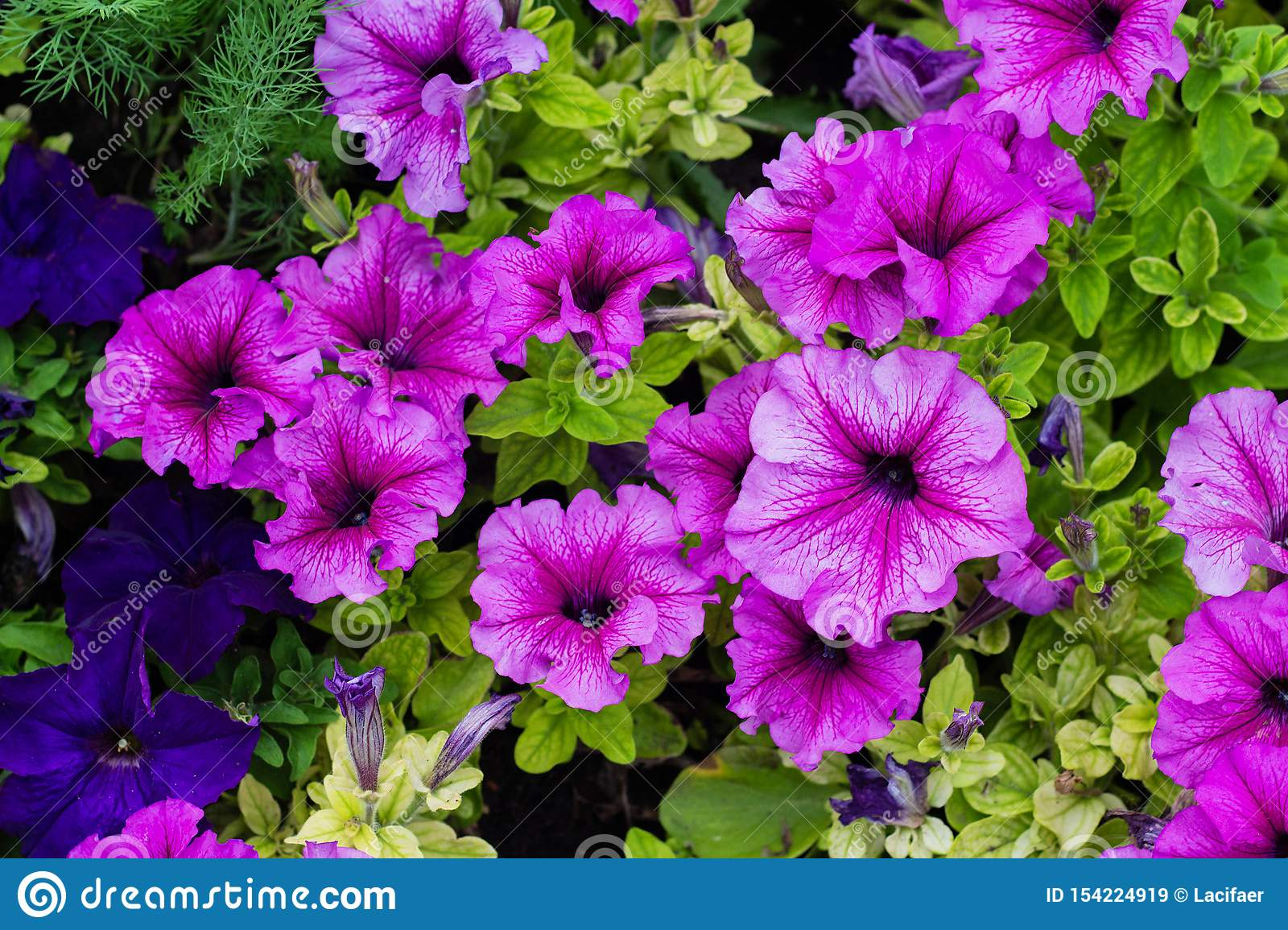 Flower Bed With Purple Petunias Close Up Petunia Flowers Bloom Petunia Blossom Stock Image Image Of Bloom Floral 154224919
