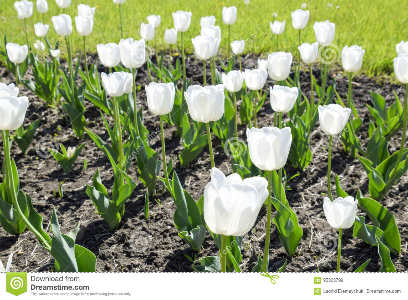 A Flower Bed With White Tulips White Tulips Bulbous Plants White