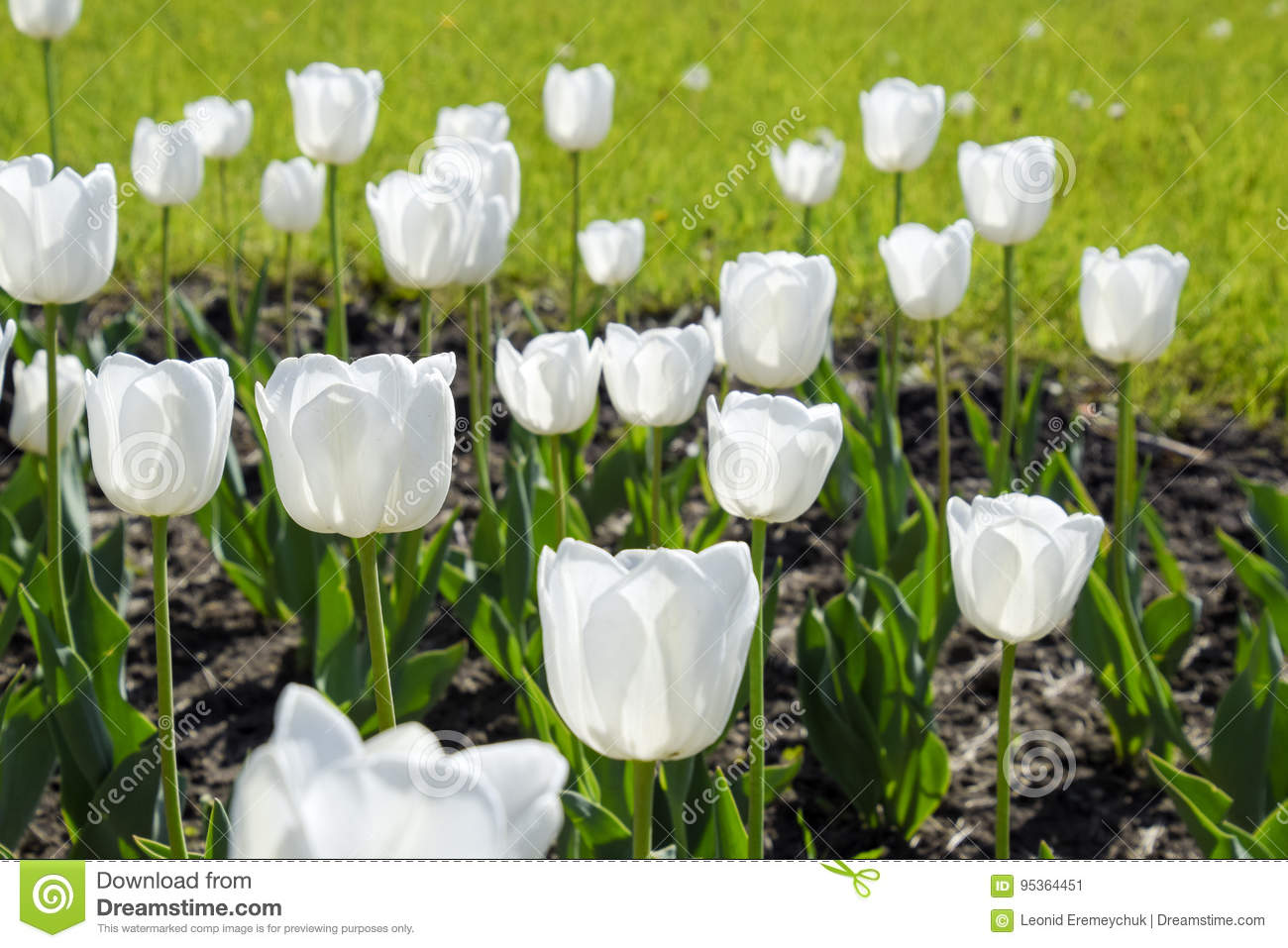 A flower bed with white tulips white tulips bulbous plants white download a flower bed with white tulips white tulips bulbous plants white flowers mightylinksfo