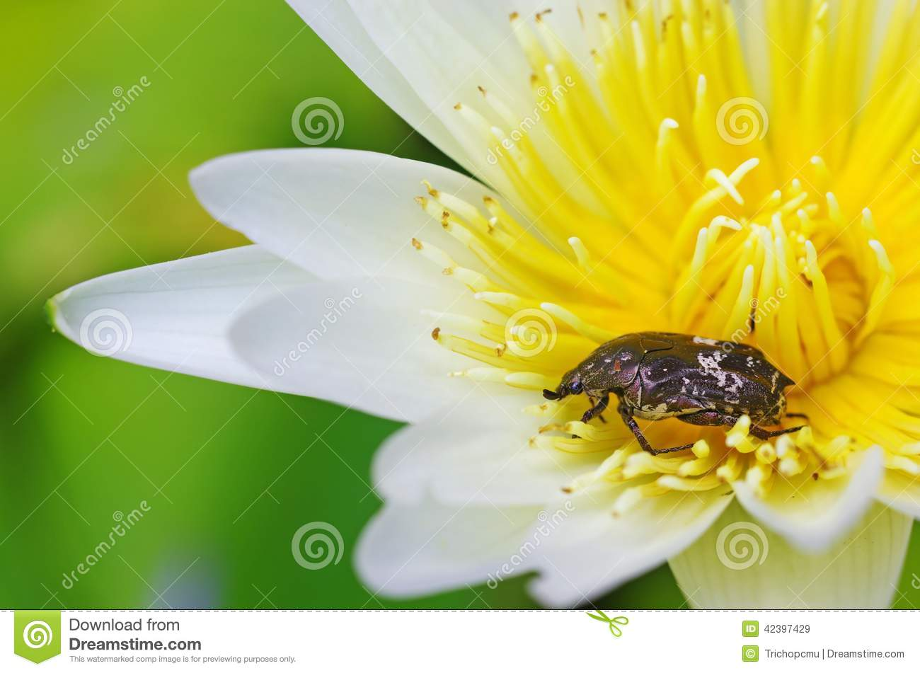 Flower Beetle On The Lotus Flower Stock Image Image Of Nature