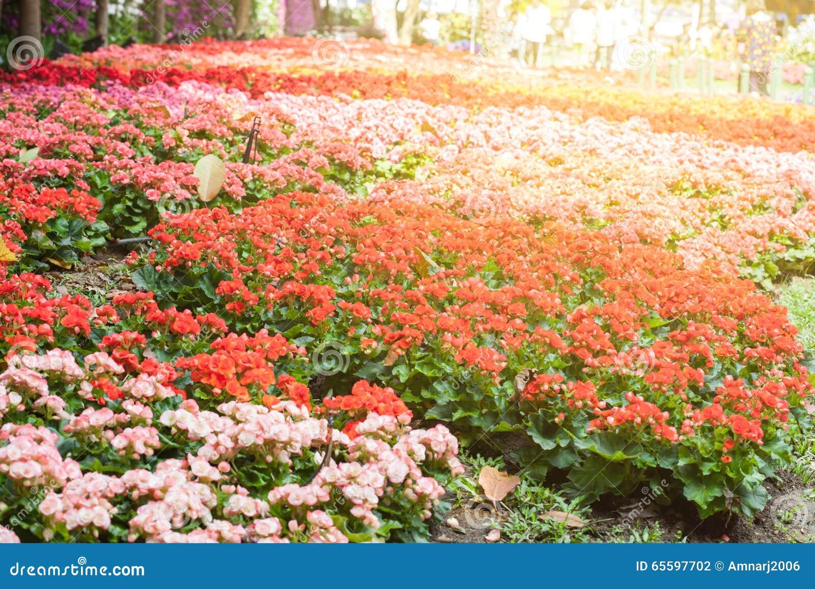 Flower Of Begonia Garden Stock Photo Image Of Arrangement 65597702