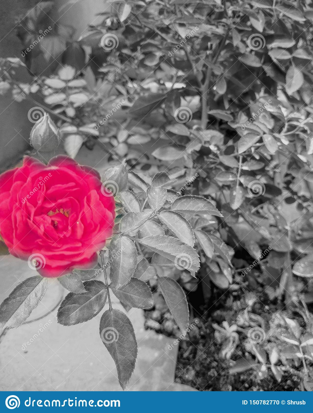 Flower ,black  and  white,colour splash images, beautiful  picture