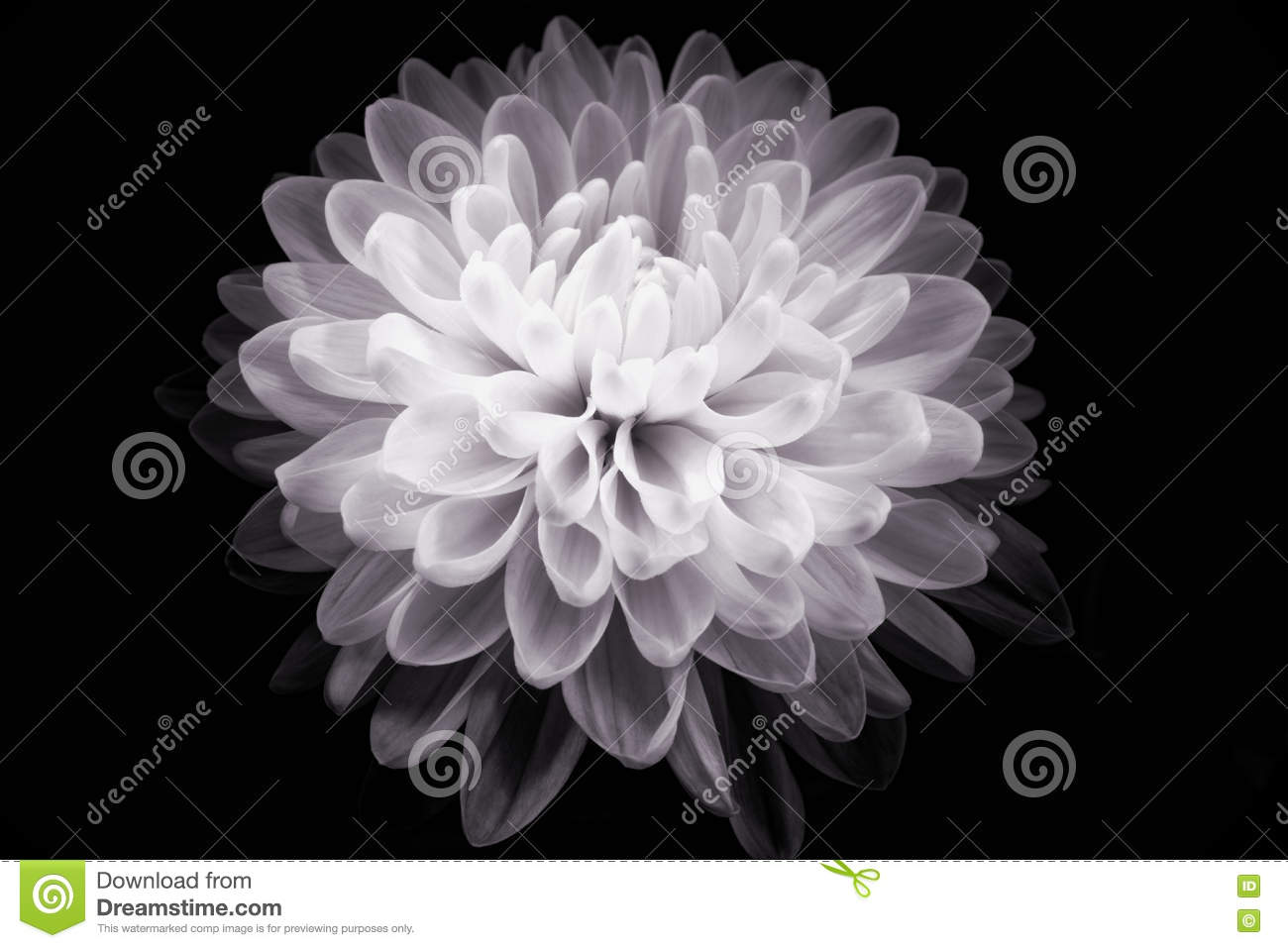 Flower Black And White Stock Photo Image Of Painting 70378918