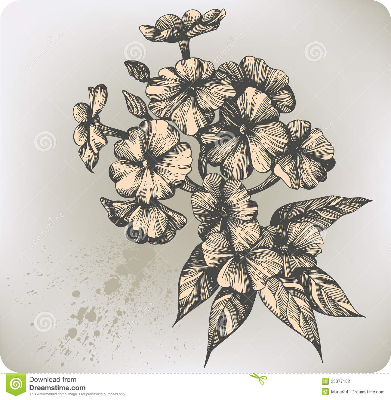 Flower Blooming Phlox Hand drawing Vector Illust Stock Photography