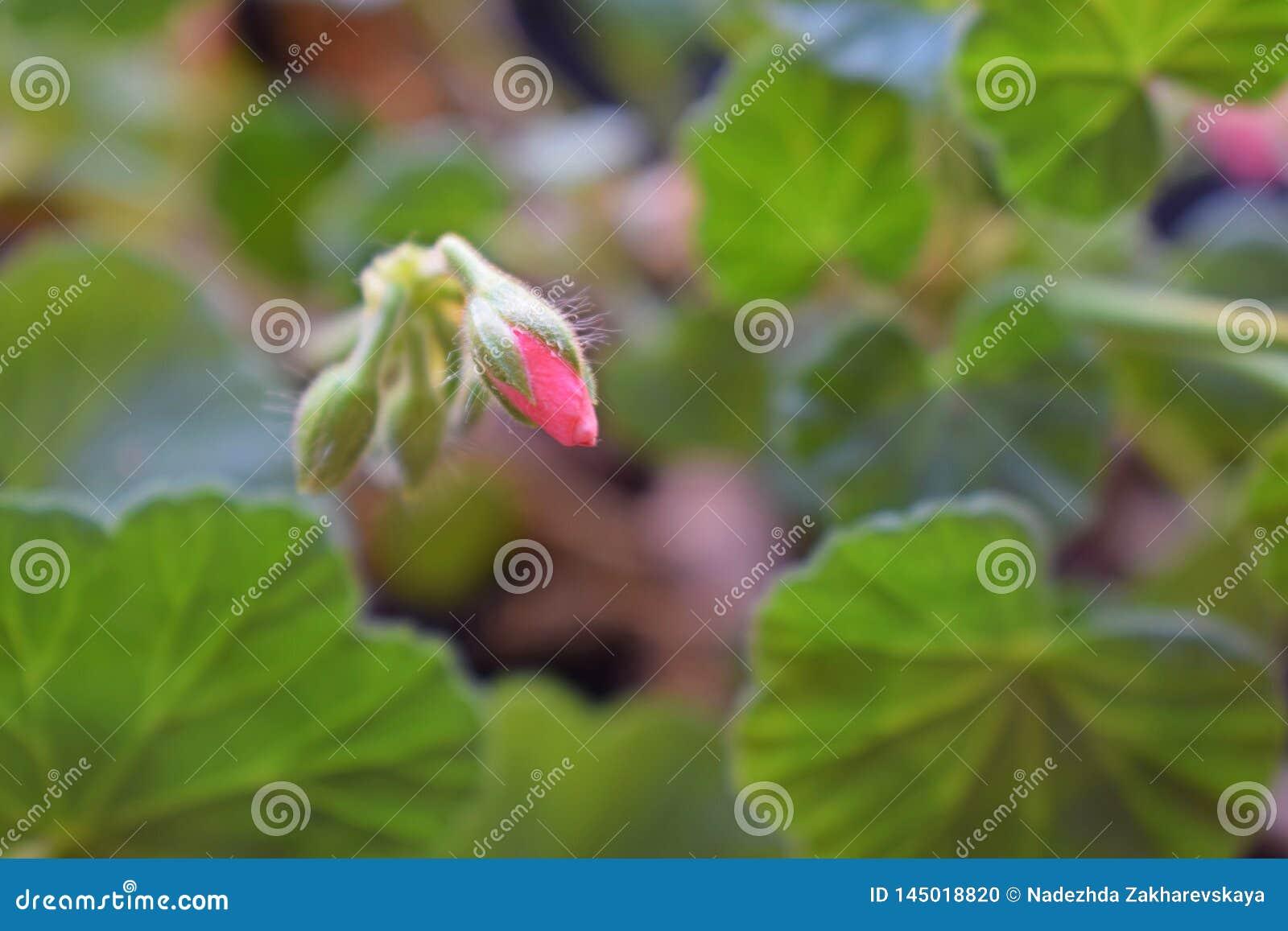 The flower blossoms of rose geranium.