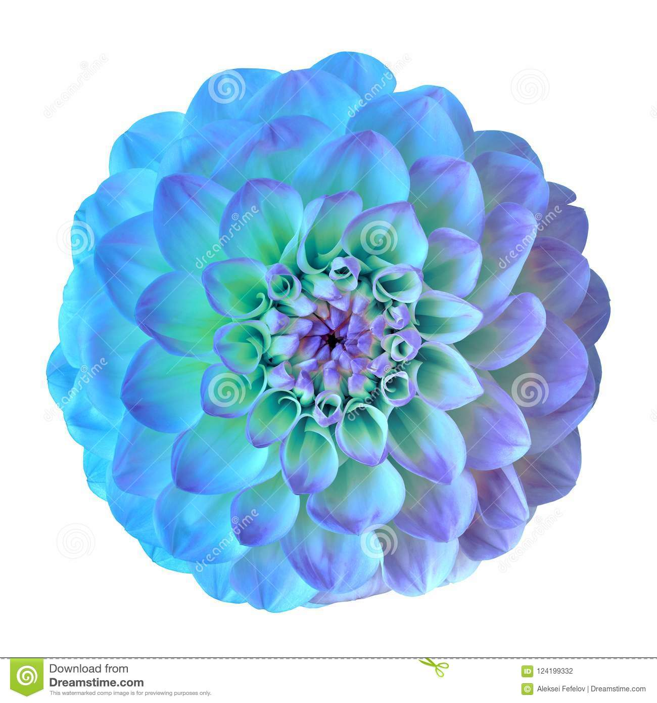 Flower Blue Cyan Lilac Dahlia Isolated On White Background Close Up