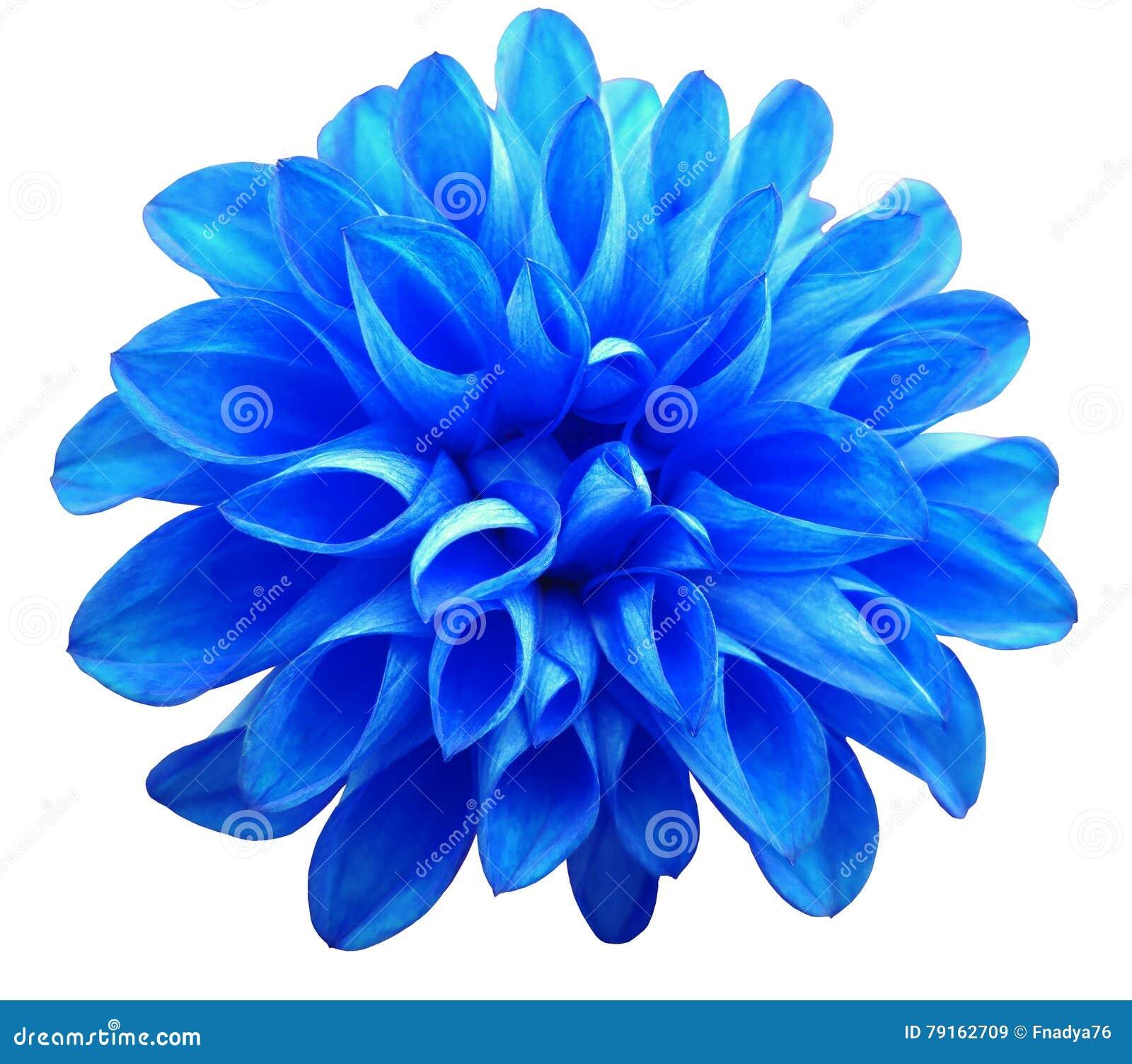Flower Blue Dahlia Isolated On White Background Stock Image Image