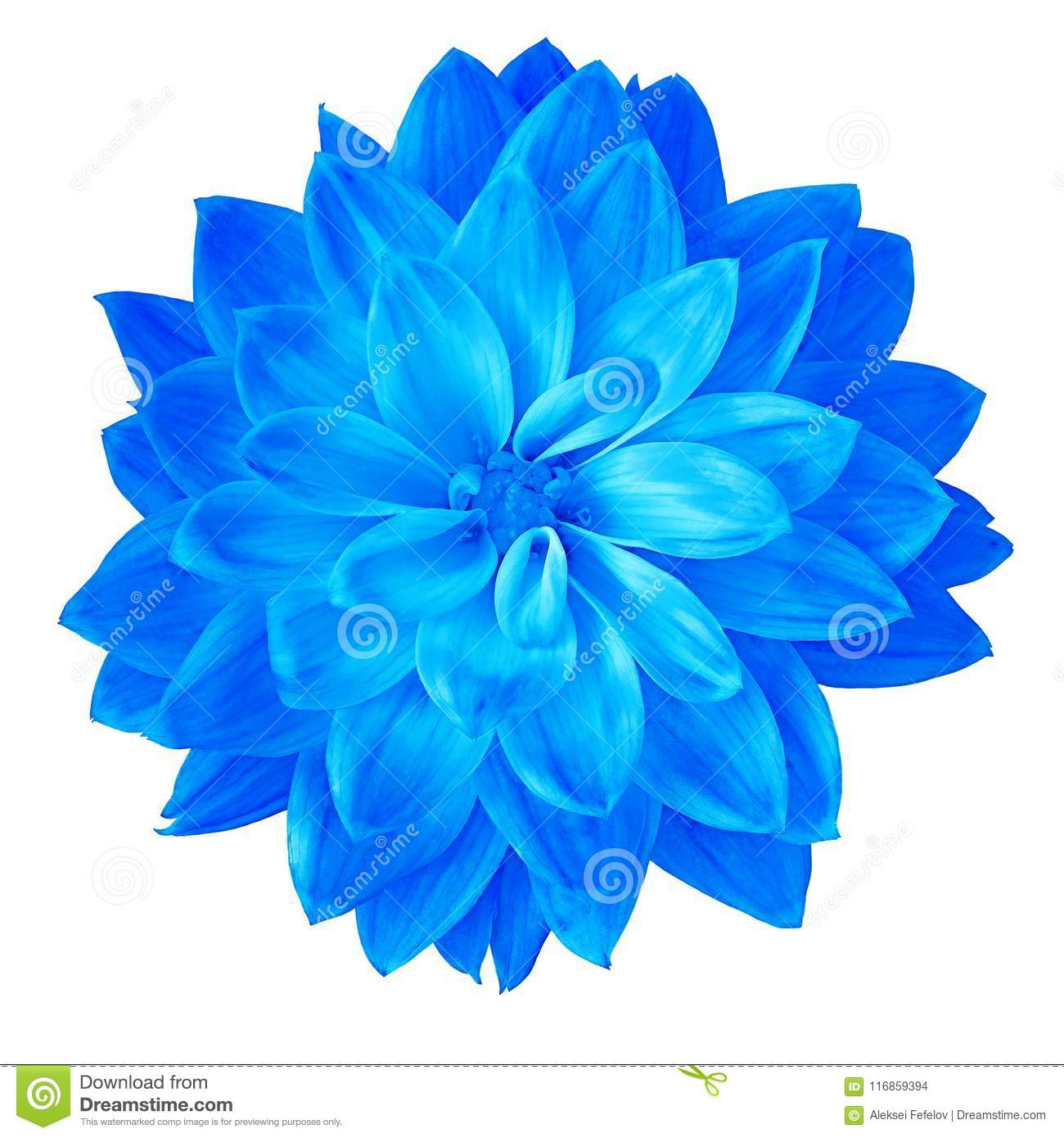 Flower Blue Dahlia Isolated On White Background Close Up Element