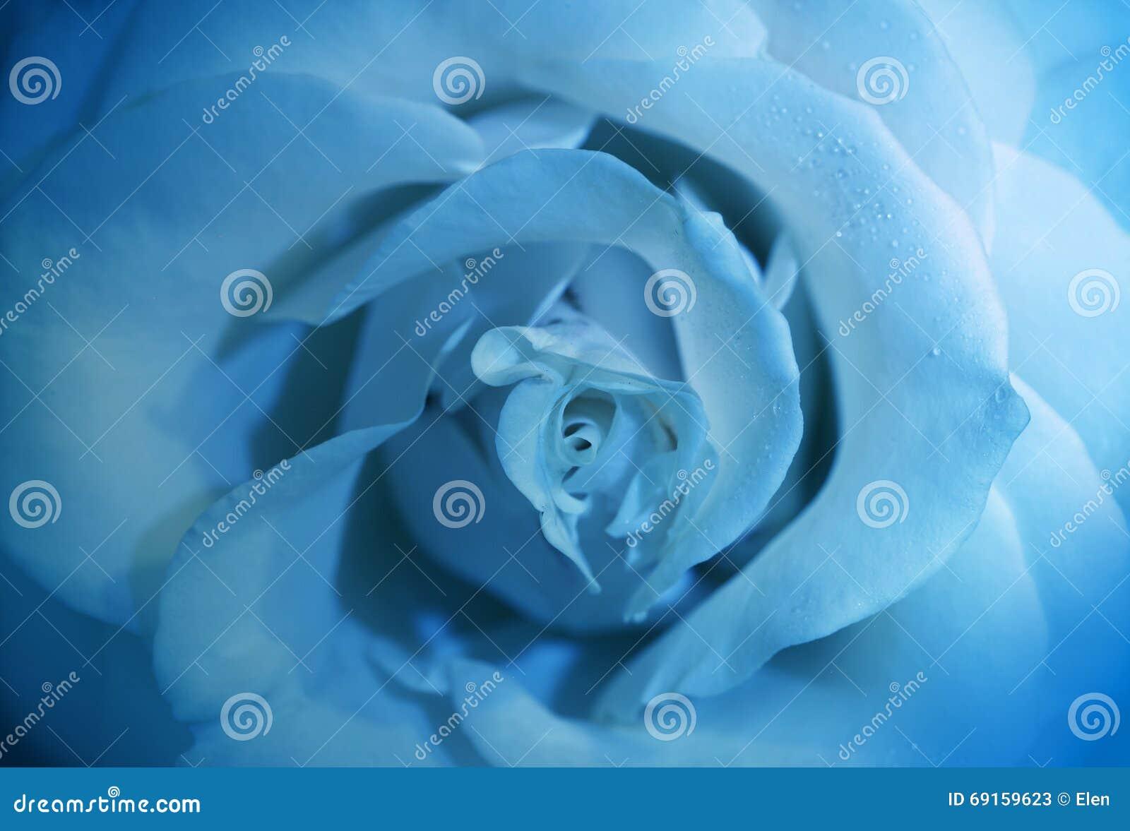 Flower Blue Rose With Morning Dew. Light, Freshness.