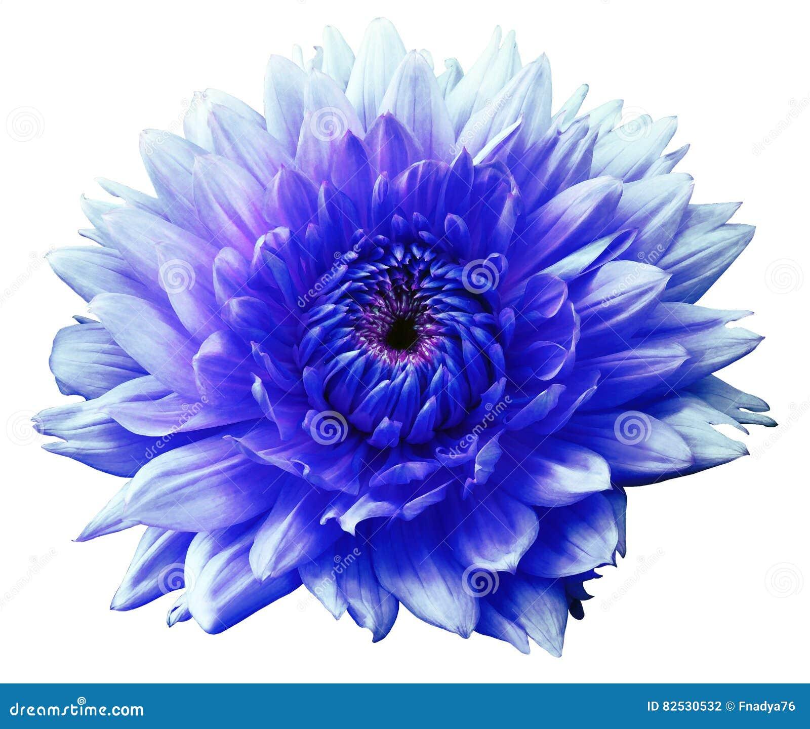 Flower Blue Turquoise Motley Dahlia Isolated On A White Background