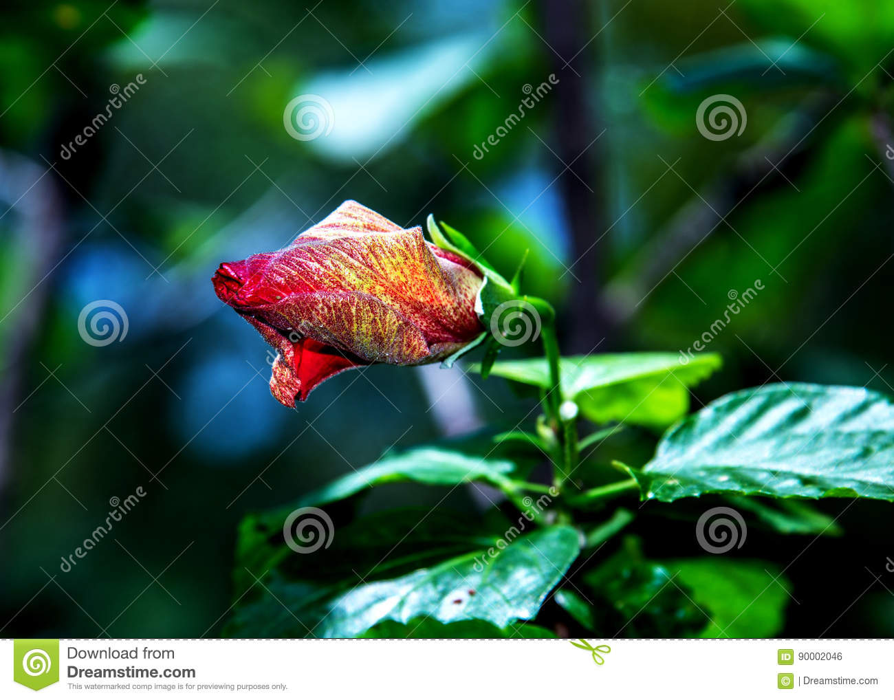 Flower Bud Red Hibiscus Stock Photo Image Of Gardening 90002046