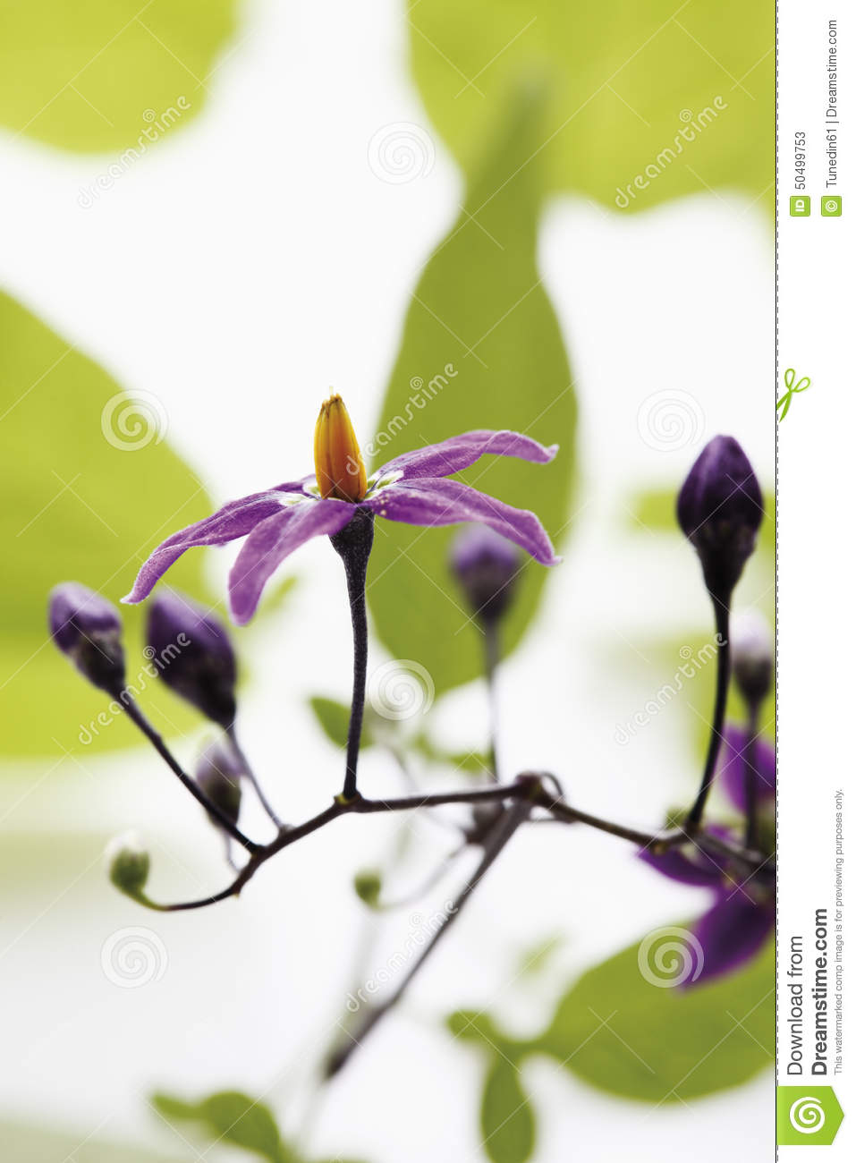 Flower And Buds Of Bittersweet Nightshade Stock Photo