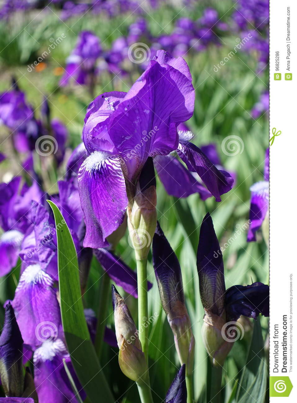 Flower And Buds Of Purple Bearded Iris Stock Photo Image Of Leaf