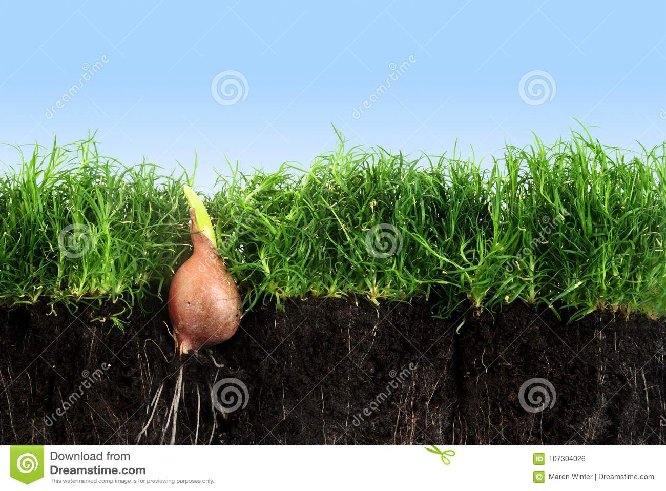Flower bulb with sprout is growing up in the green grass lawn wi