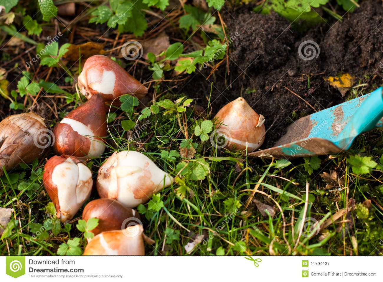 Flower Bulbs Stock Image Image Of Flower Grass View 11704137