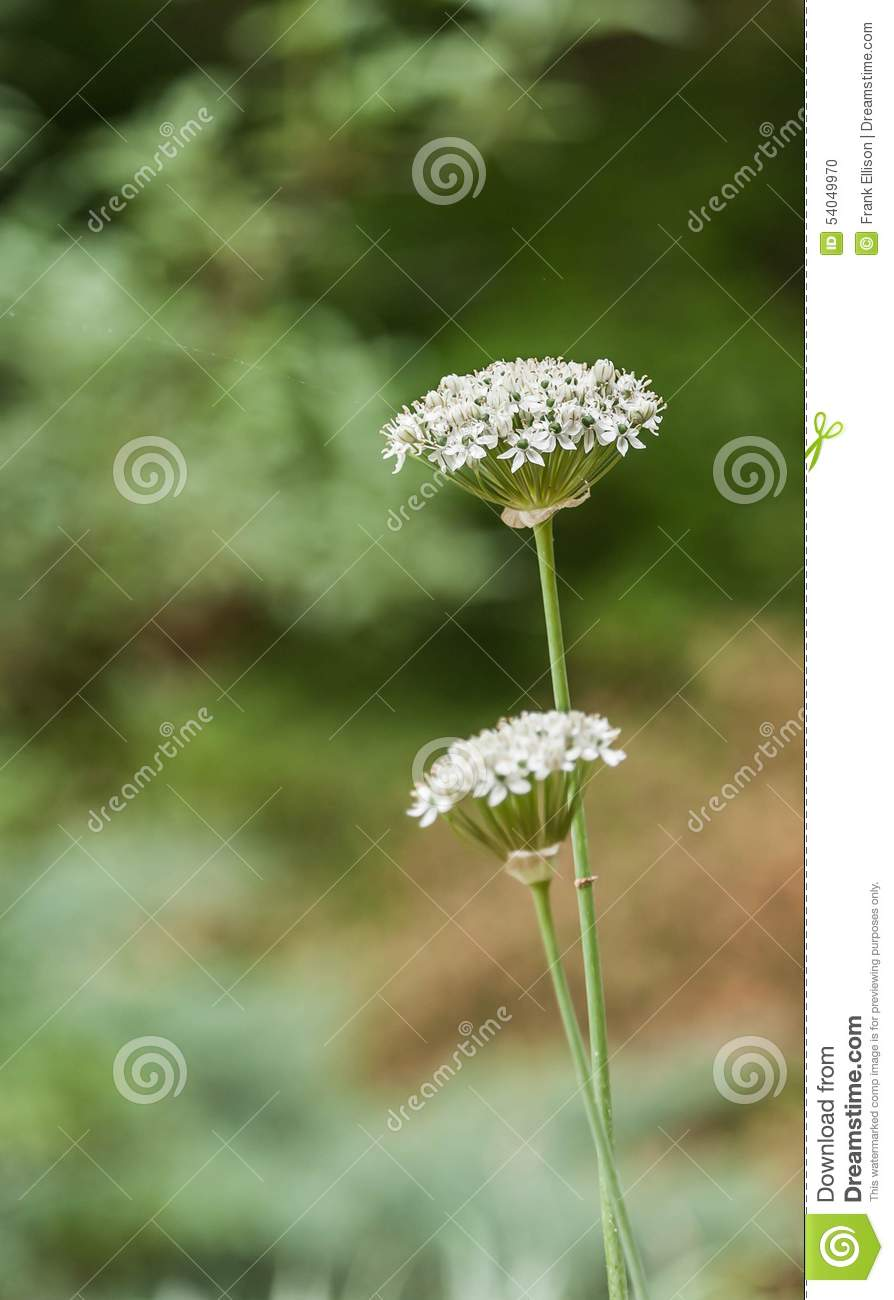 Flower Bunches Stock Photo Image Of White Blurry Background