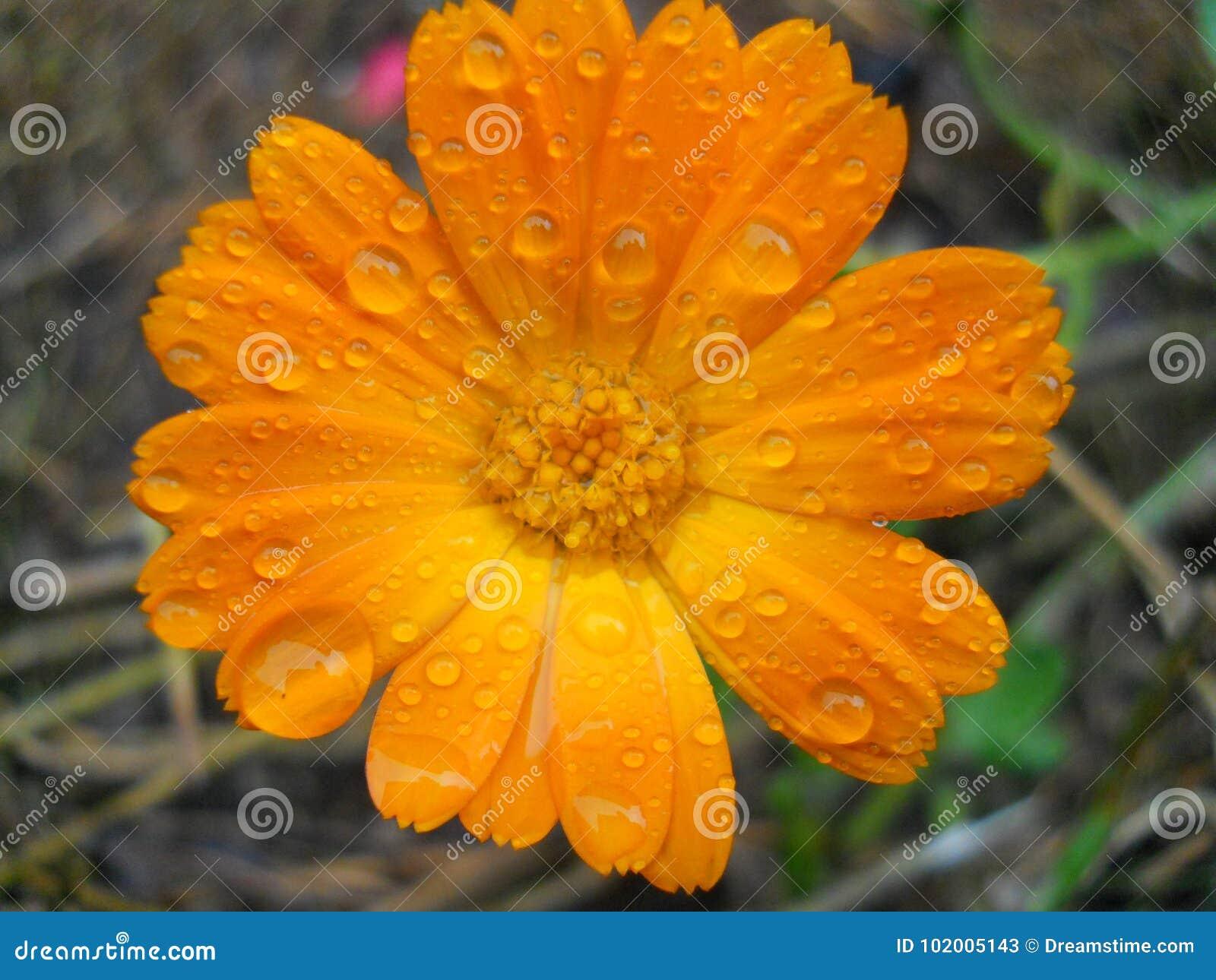 Calendula. Useful properties of yellow flowers 59