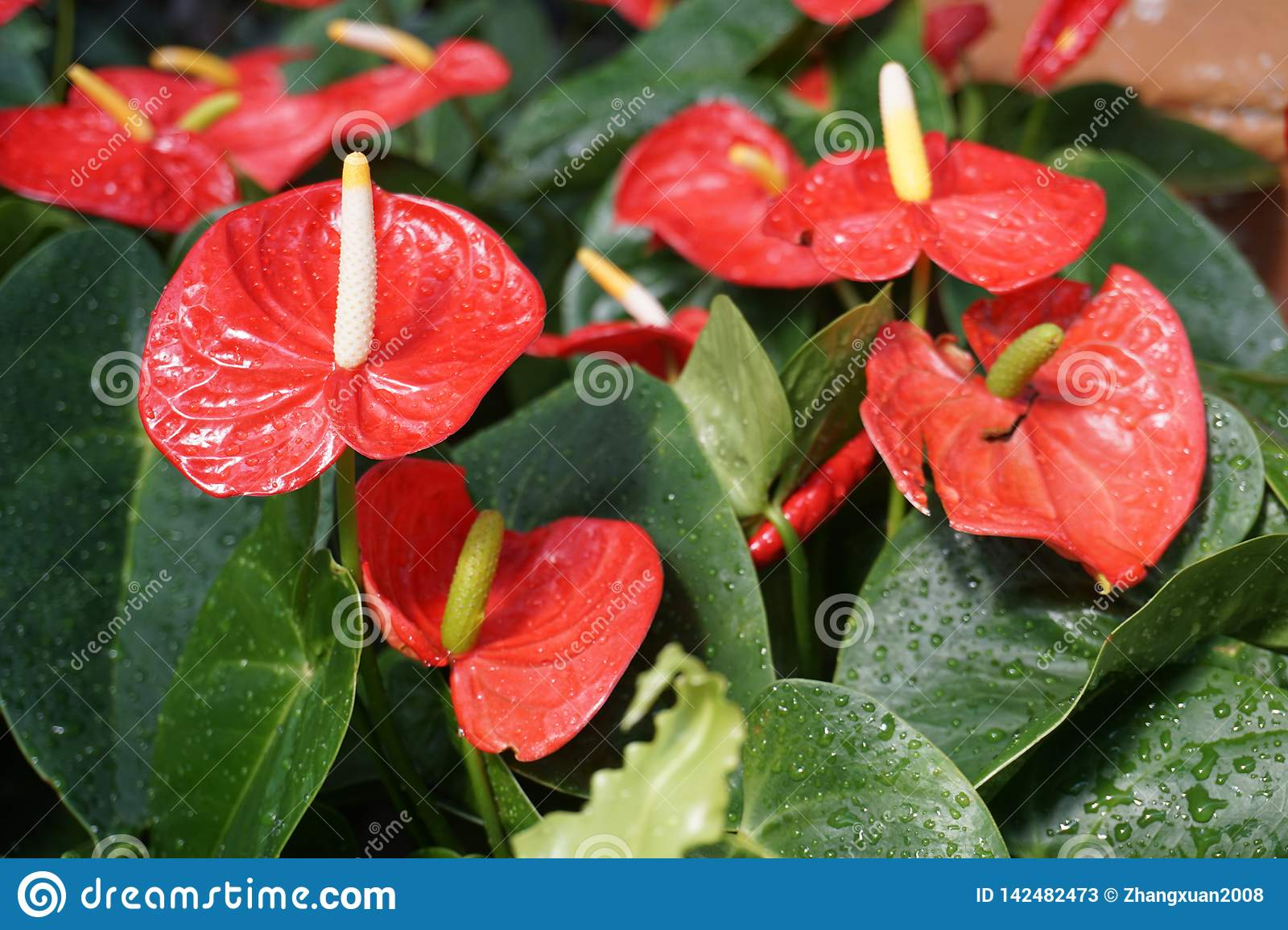 This is a flower called anthurium