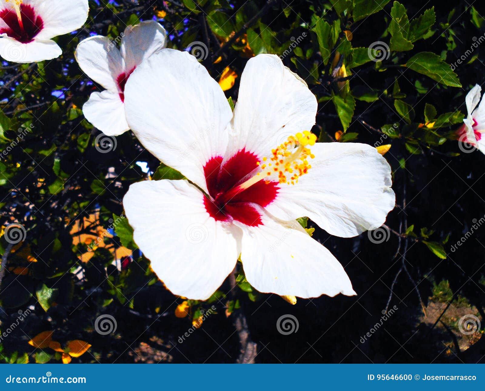 Flower called hibiscus stock photo image of family color 95646600 plant with white flower called hibiscus mightylinksfo