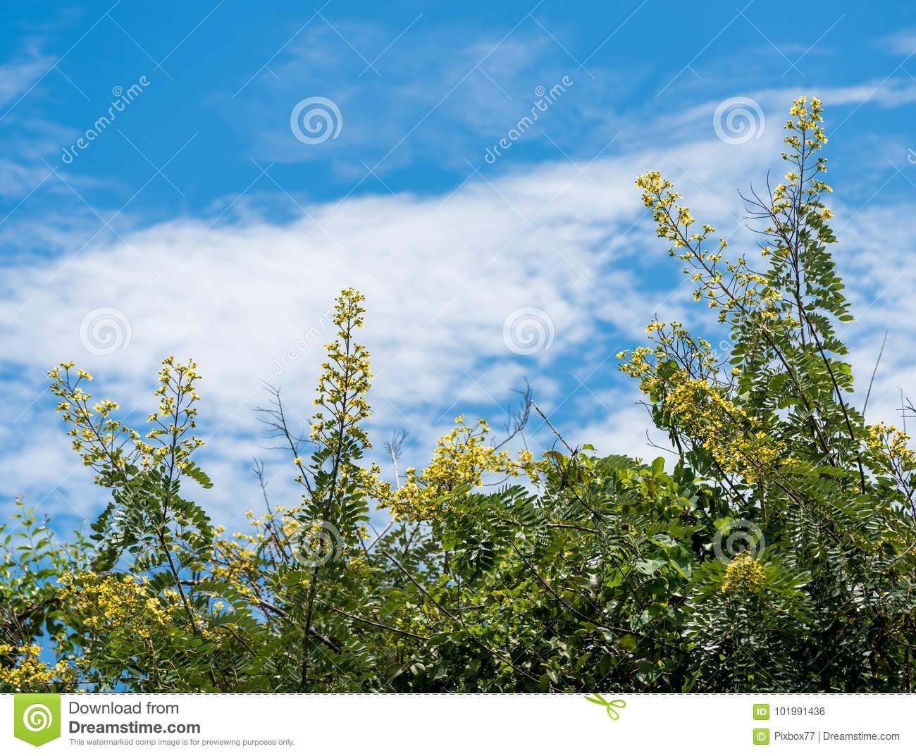 Flower of cassia tree with blue sky background stock photo image flower of cassia tree with blue sky background izmirmasajfo