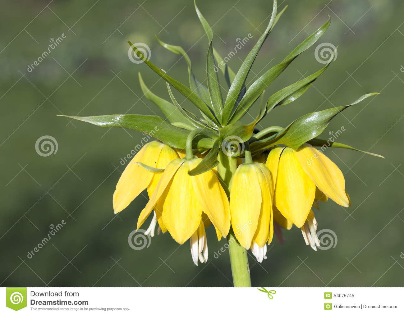What flower is called the Tears of Isis What are the myths and legends about him 41
