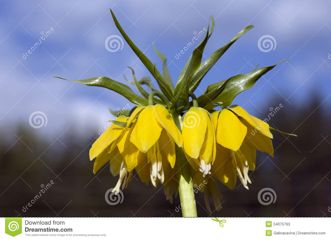 What flower is called the Tears of Isis What are the myths and legends about him 32