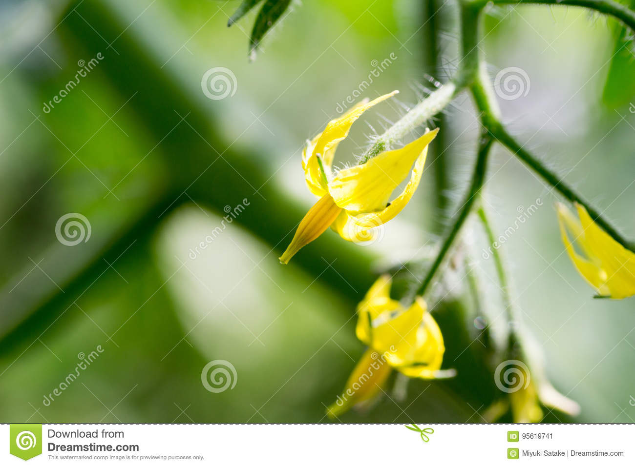 Flower of cherry tomato